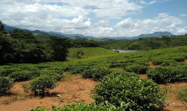 Tea plantations in Chipinge. Photograph by Ngoni Shumba.