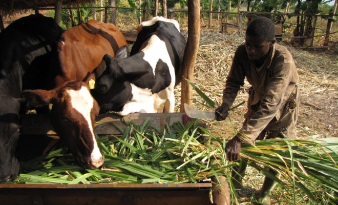 Innovative approaches to crop-livestock integration are leading the way to improved food-sufficiency in Burundi. Credit: William Moseley.