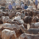 A cattle market in Garissa. Credit: USAID/Mariantonietta Peru.