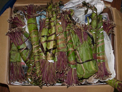 UK Khat ban likely to create innovative black market for