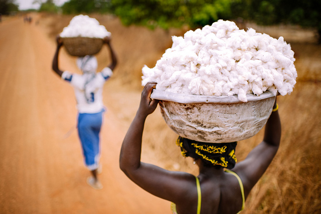 Harvesting cotton in Burkina Faso. Credit: Ollivier Girard/CIFOR.