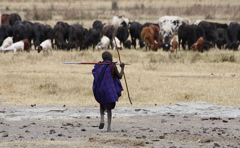 A young Maasai herder tending to his cattle. Credit: Andreas Lederer.