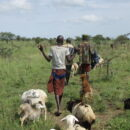 Jie herdsmen with their livestock in Kotido district, Uganda. Paramilitaries. Credit: Sam Meyerson.